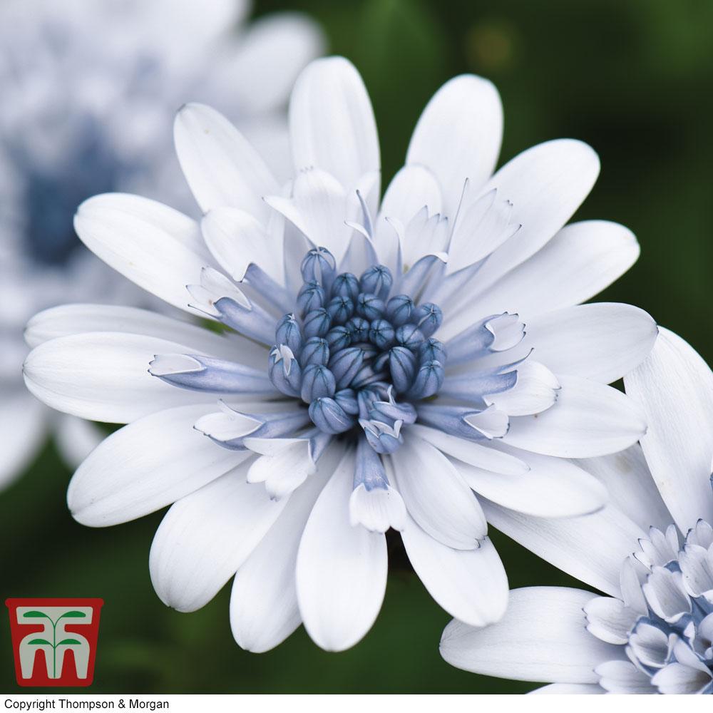 Image of Osteospermum 'Erato Double Ice Blue'