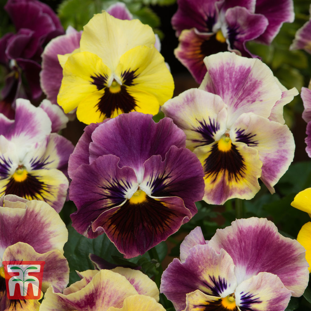 Image of Pansy 'Frizzle Sizzle Fire'