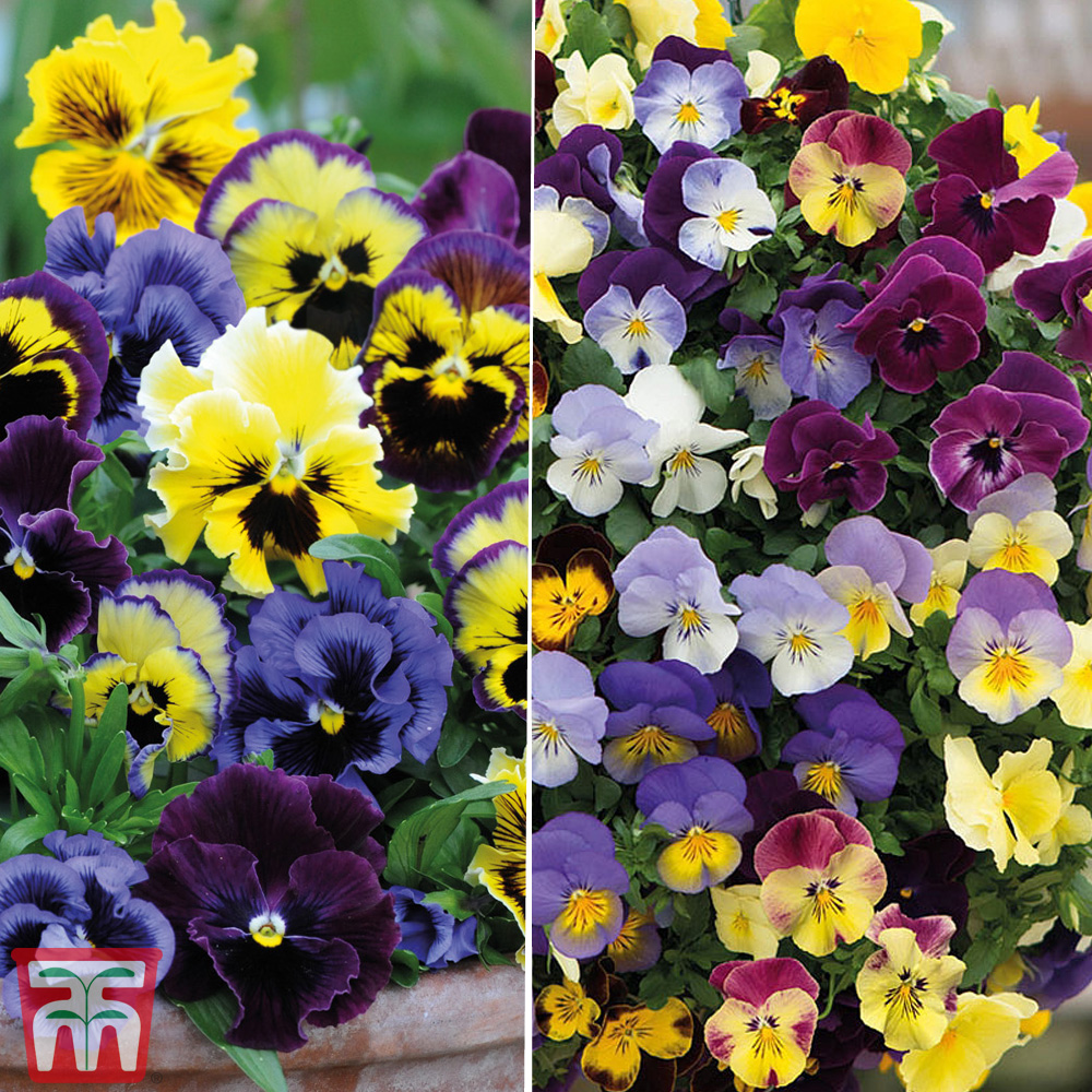 Image of Pansy Garden Ready Duo