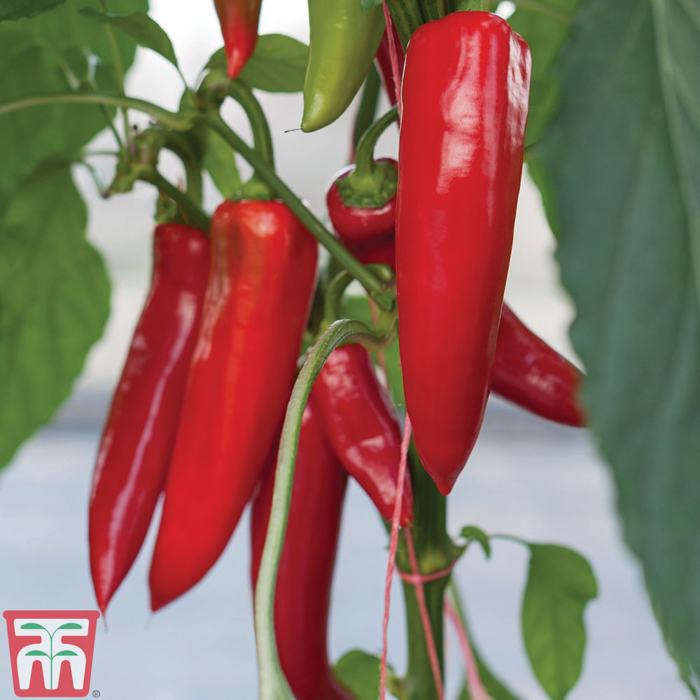Image of Chilli Pepper 'Amboy' Grafted