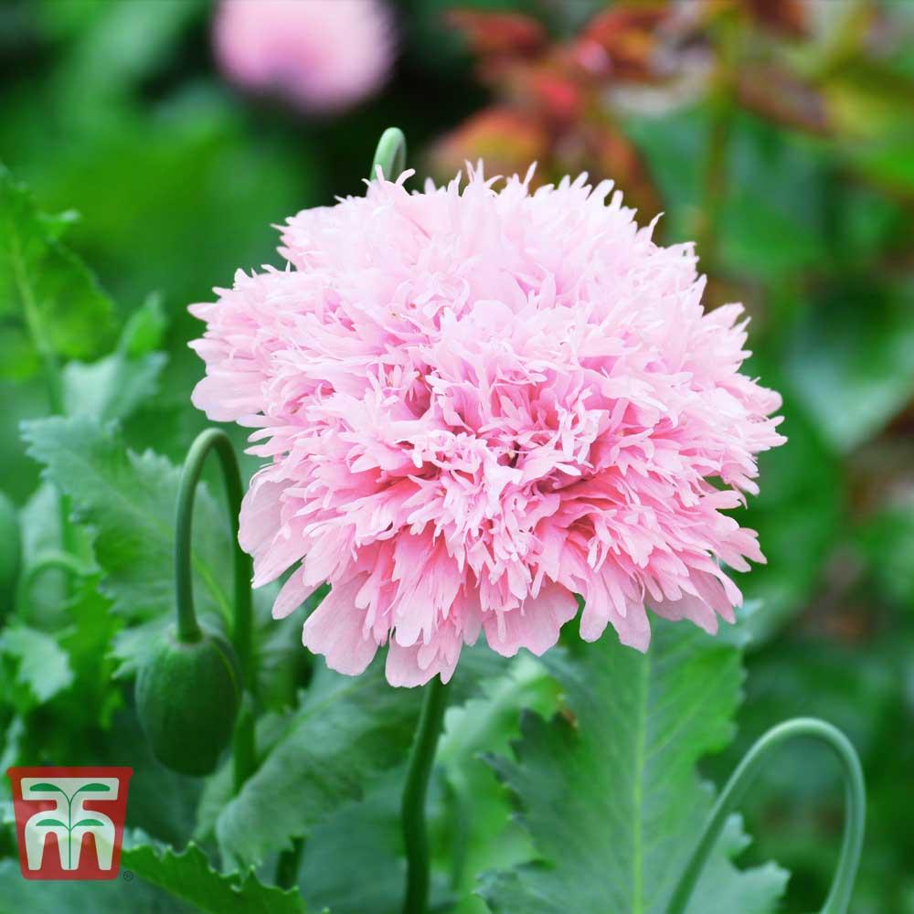 Image of Poppy 'Lilac Pom Pom'