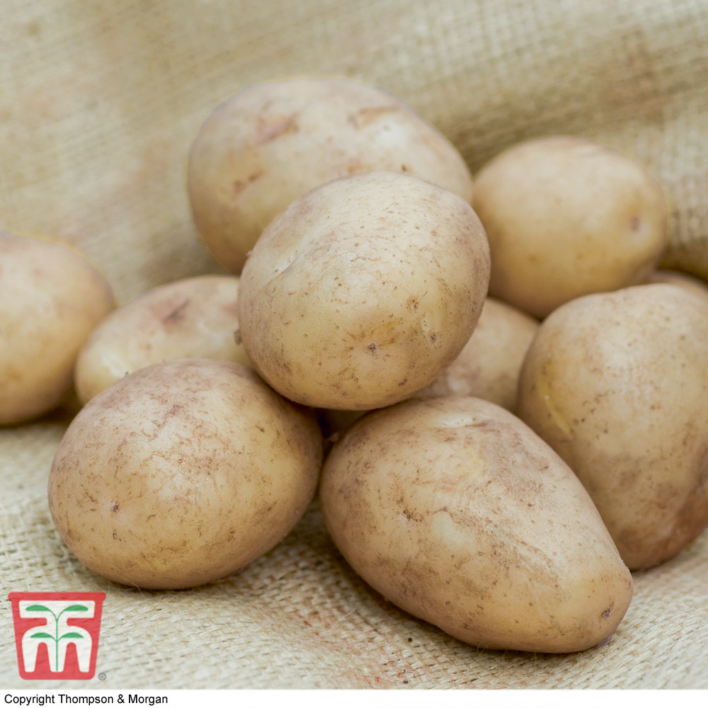 Image of Potato 'Casablanca'