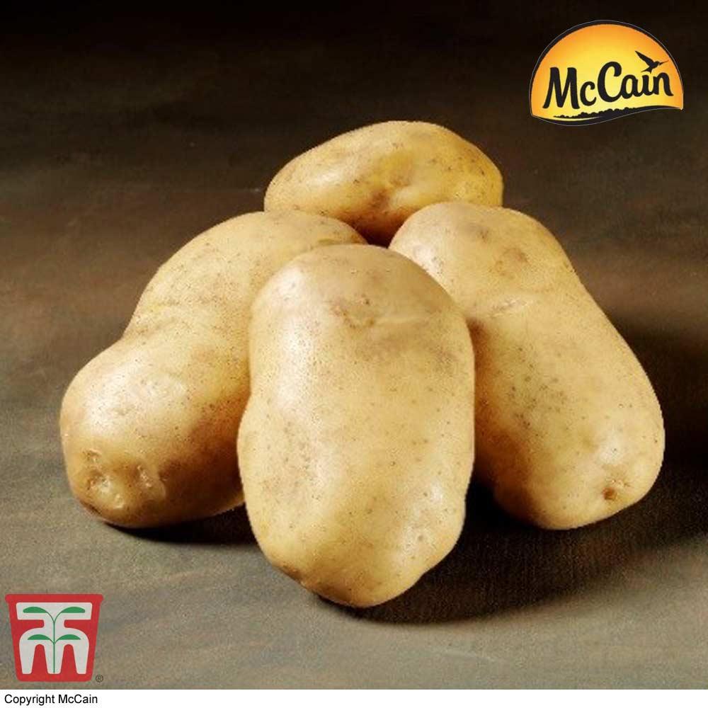 Image of Potato McCain 'Royal'