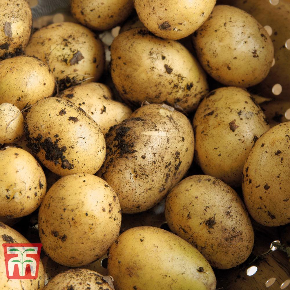 Image of Potato 'Maris Piper'