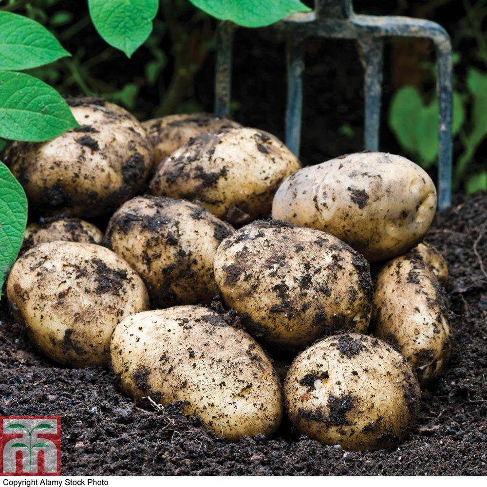 Image of Potato 'Orla'