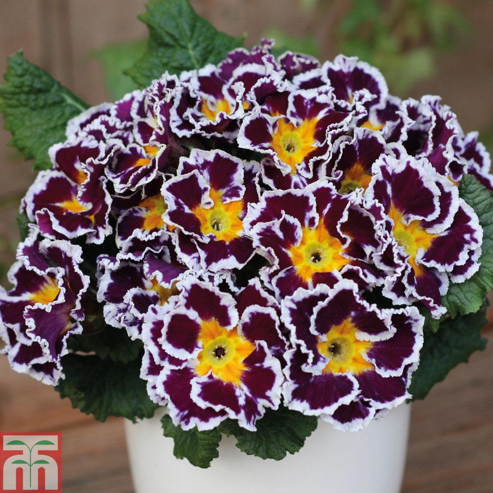 Image of Primrose 'Scirocco Lilac'