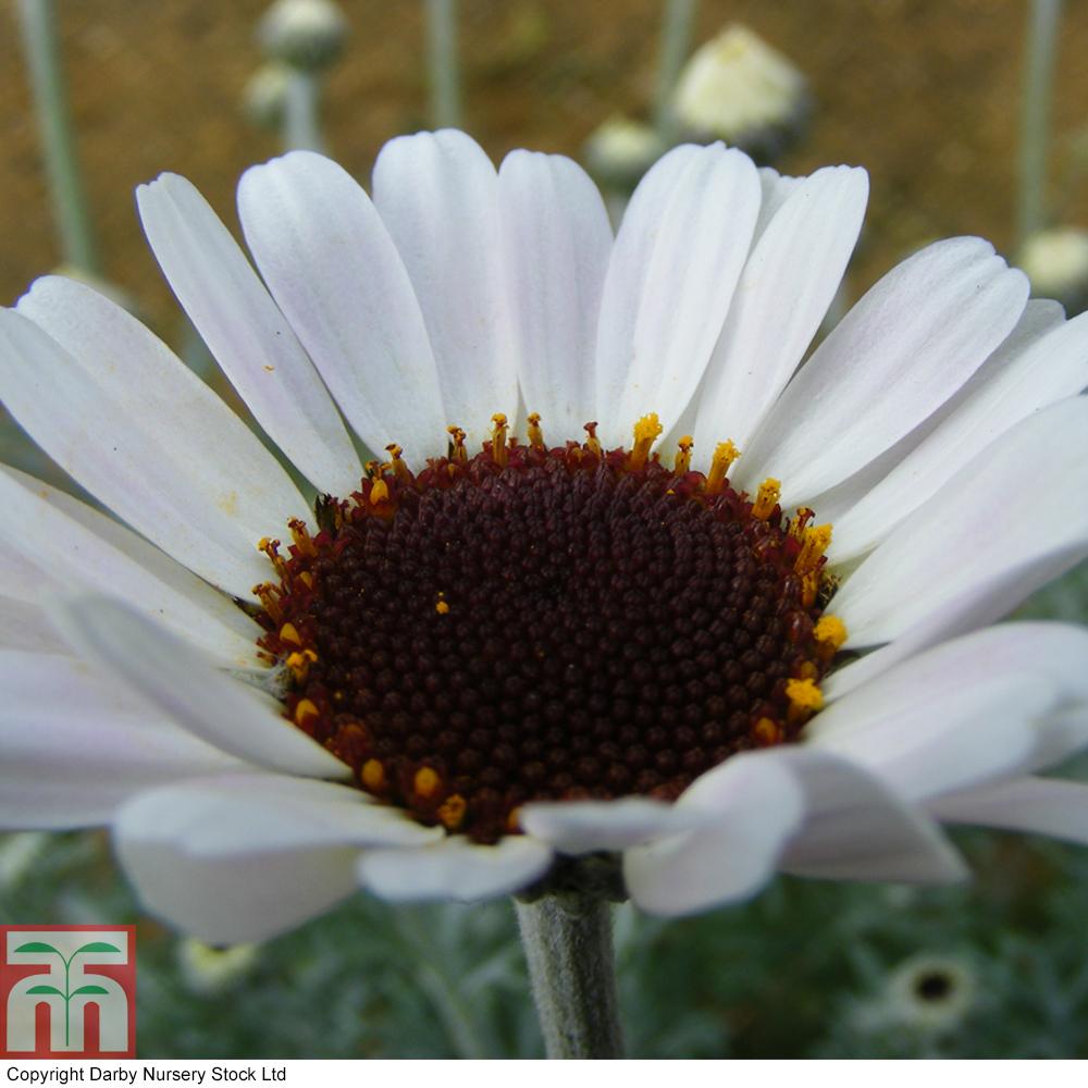 Daisy Plants At Thompson Morgan