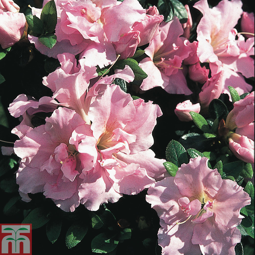 Image of Rhododendron 'Betty Anne Voss' (Azalea Group)