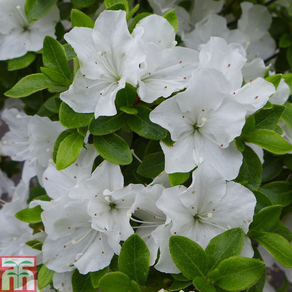 Rhododendron Panda Azalea Panda In Gardentags Plant Encyclopedia