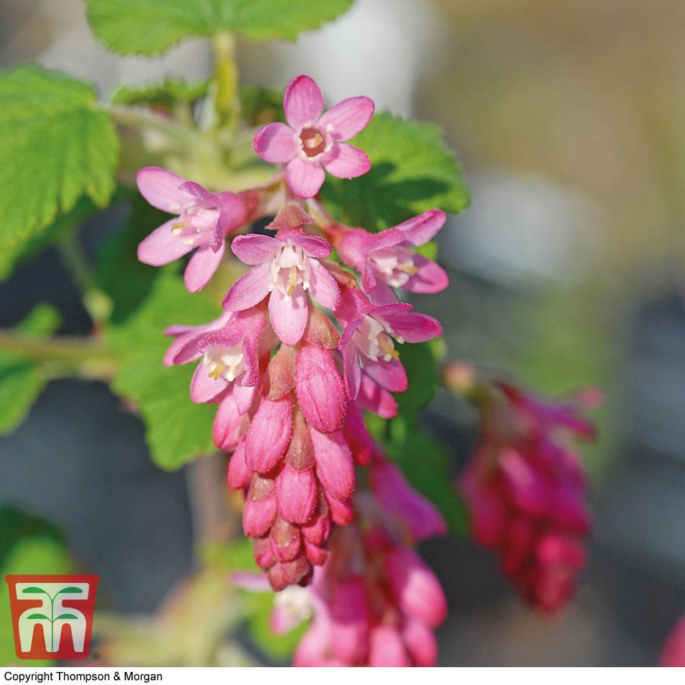 Image of Ribes sanguineum 'King Edward Vii'