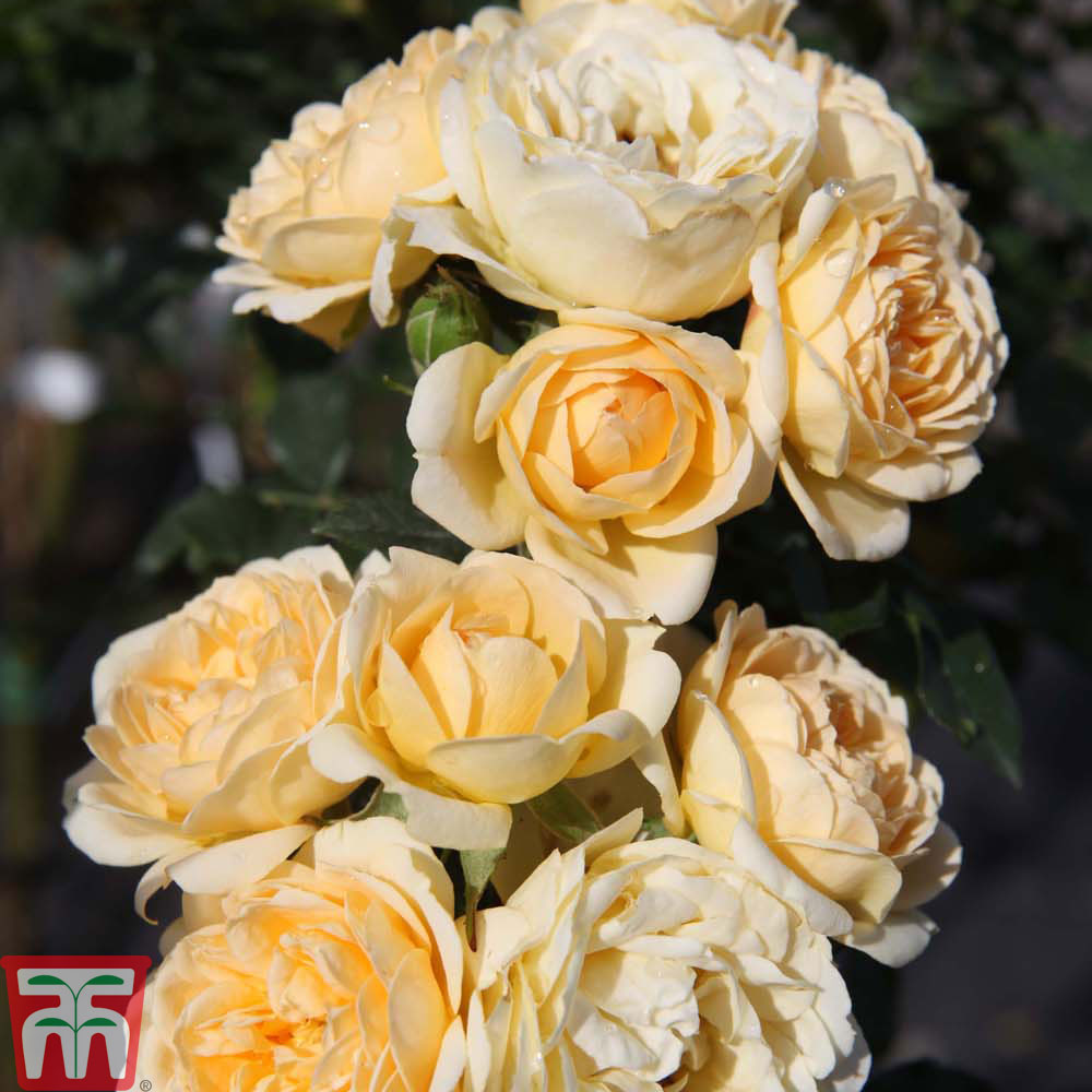 Image of Rose 'Lucky!' (Floribunda Rose)