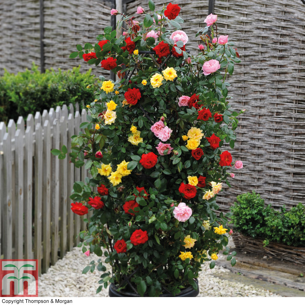 Image of Rose '3-in-1' Collection (Climbing Rose)