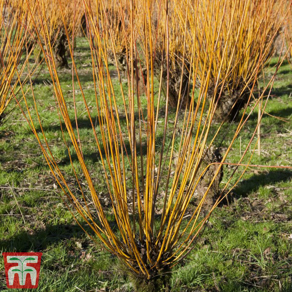 Image of Scarlet Willow (Hedging)