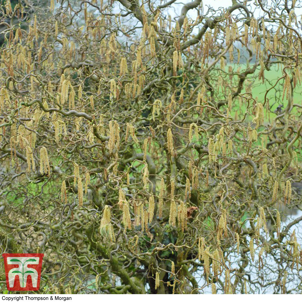 Image of Twisted willow (Hedging)