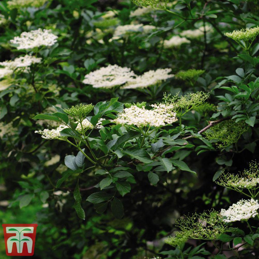 Image of Elderberry (Hedging)