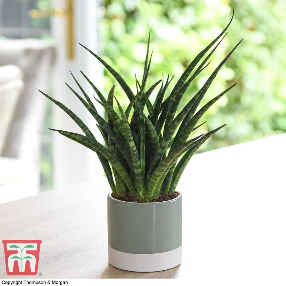 Image of Sansevieria 'Fernwood' (House Plant)