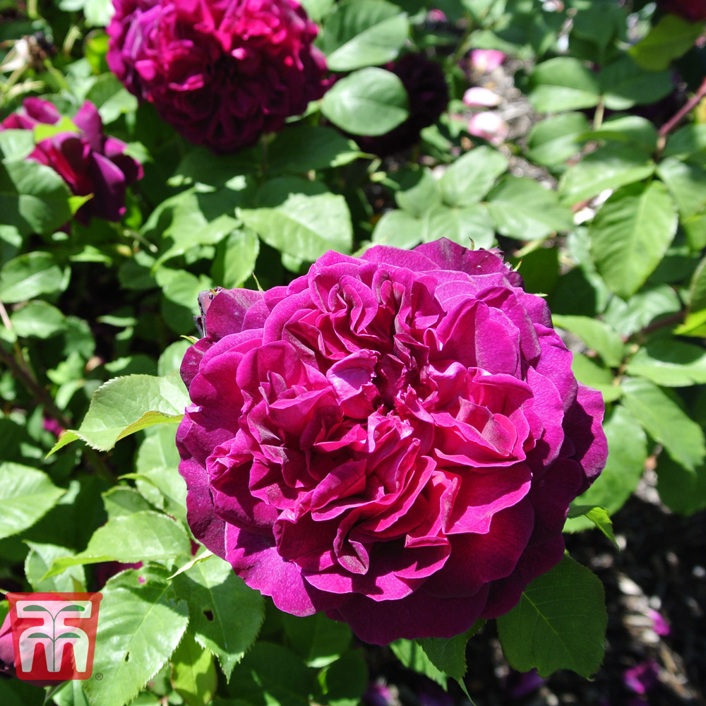 Image of Rose 'Scented Double Purple'