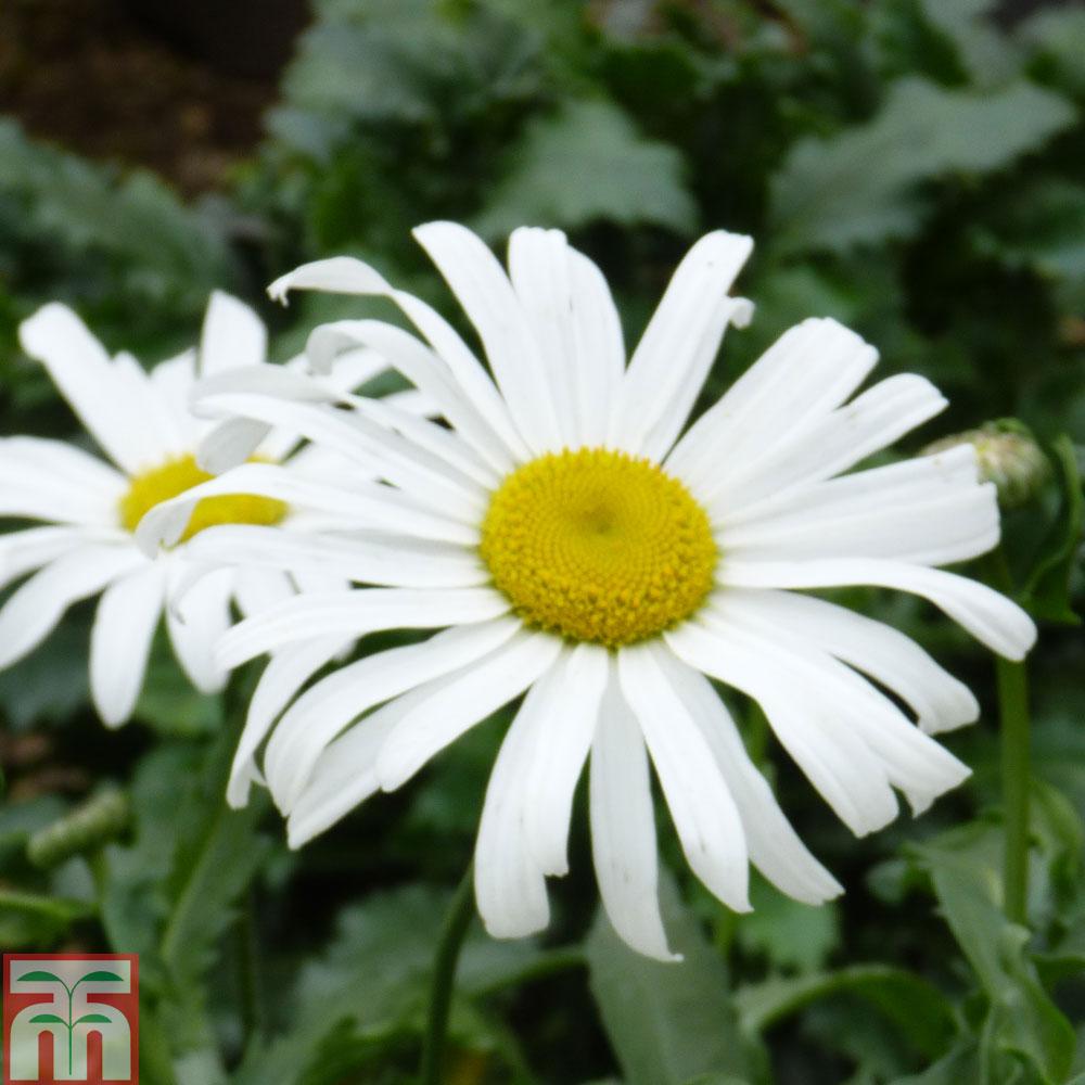 Daisy plants at thompson morgan izmirmasajfo Image collections
