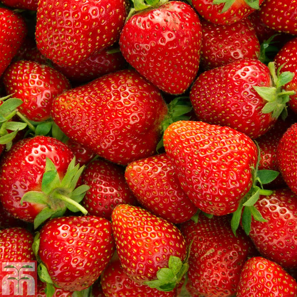 Strawberry Alba: variety description, cultivation and care 83