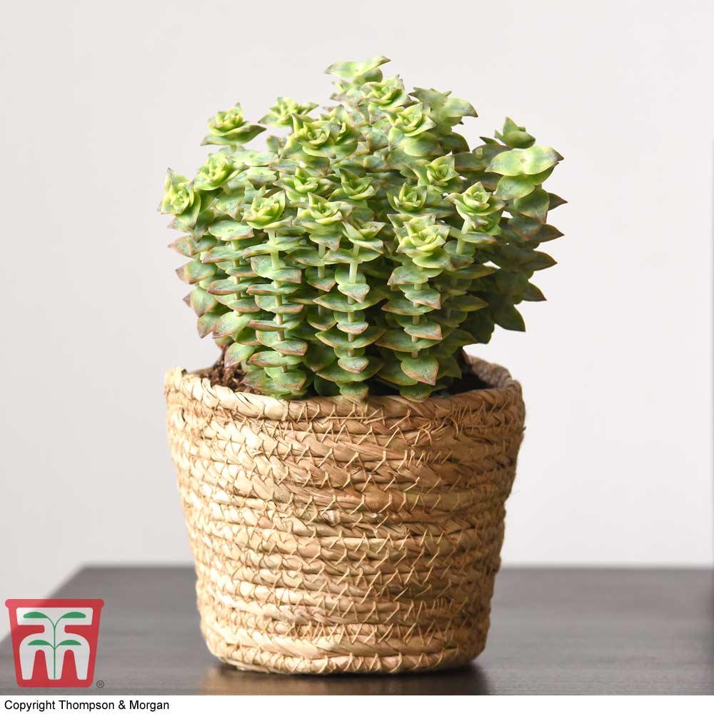 Image of Crassula perforata (House plant)