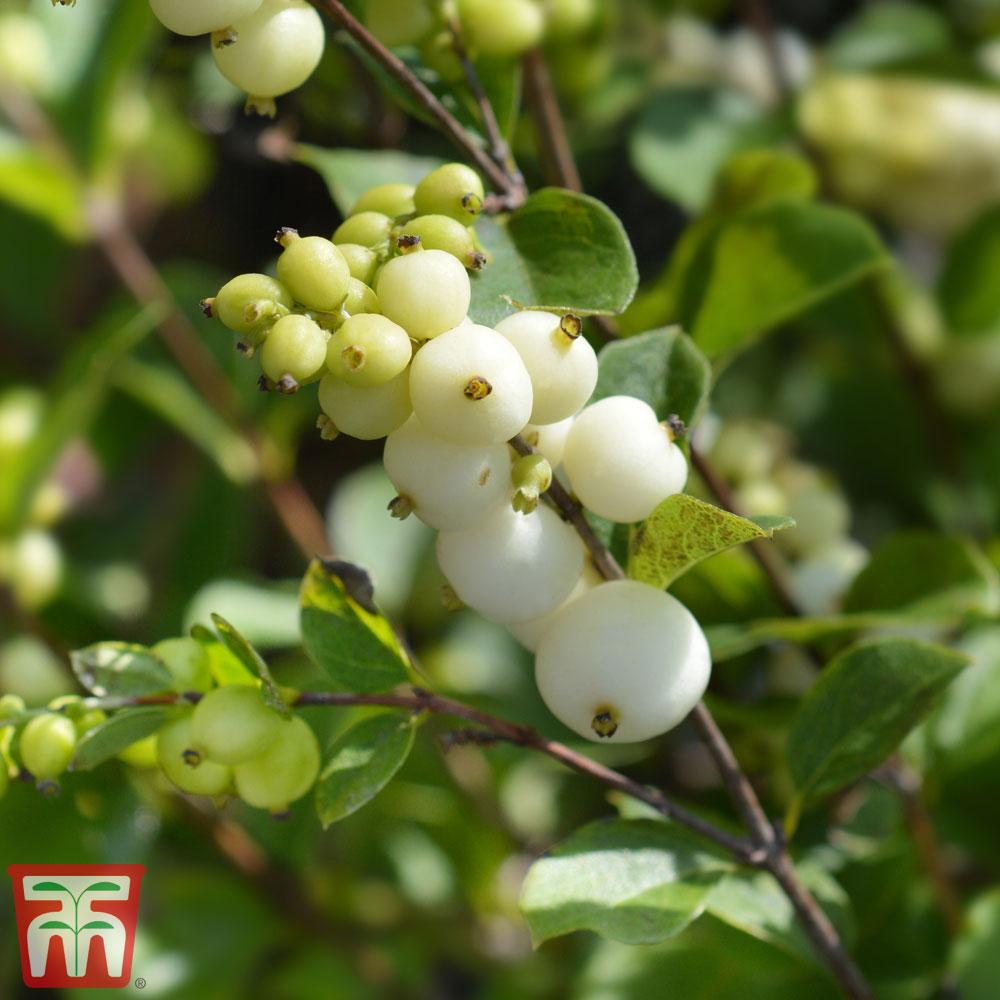 Image of Symphoricarpos x doorenbosii 'White Hedge'