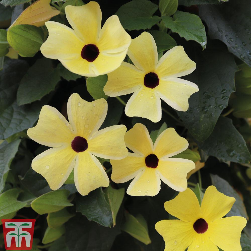Image of Thunbergia alata 'Sunny Susy Lemon Sunrise'