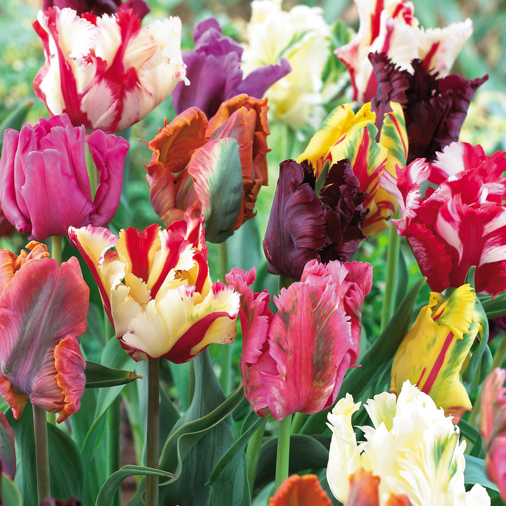 Image of Tulip 'Parrot Mixed'