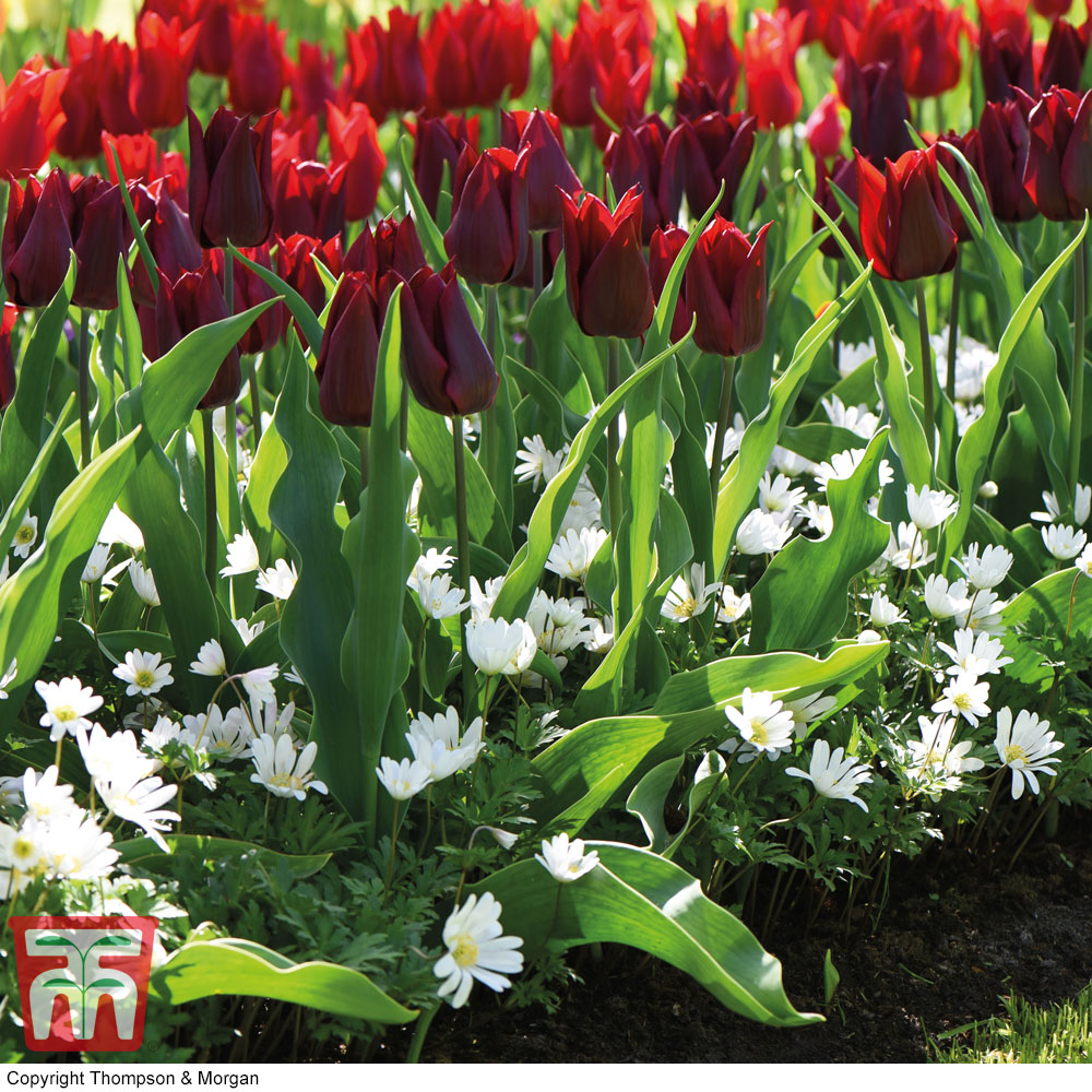 Image of Tulip and Anemone Mix