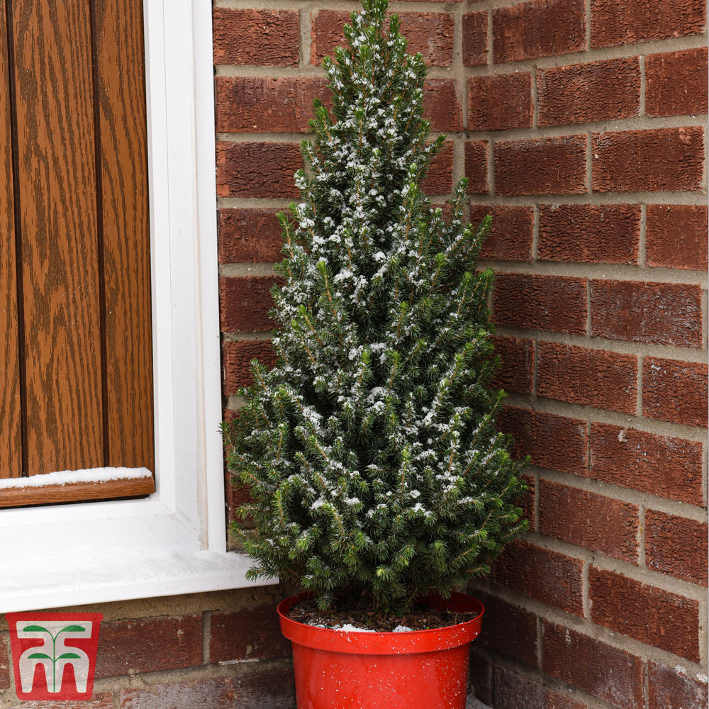 Image of Potted Christmas Tree - Picea Perfecta