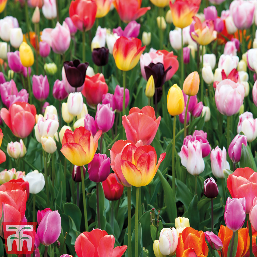 Image of Tulip 'Full Border Mix'