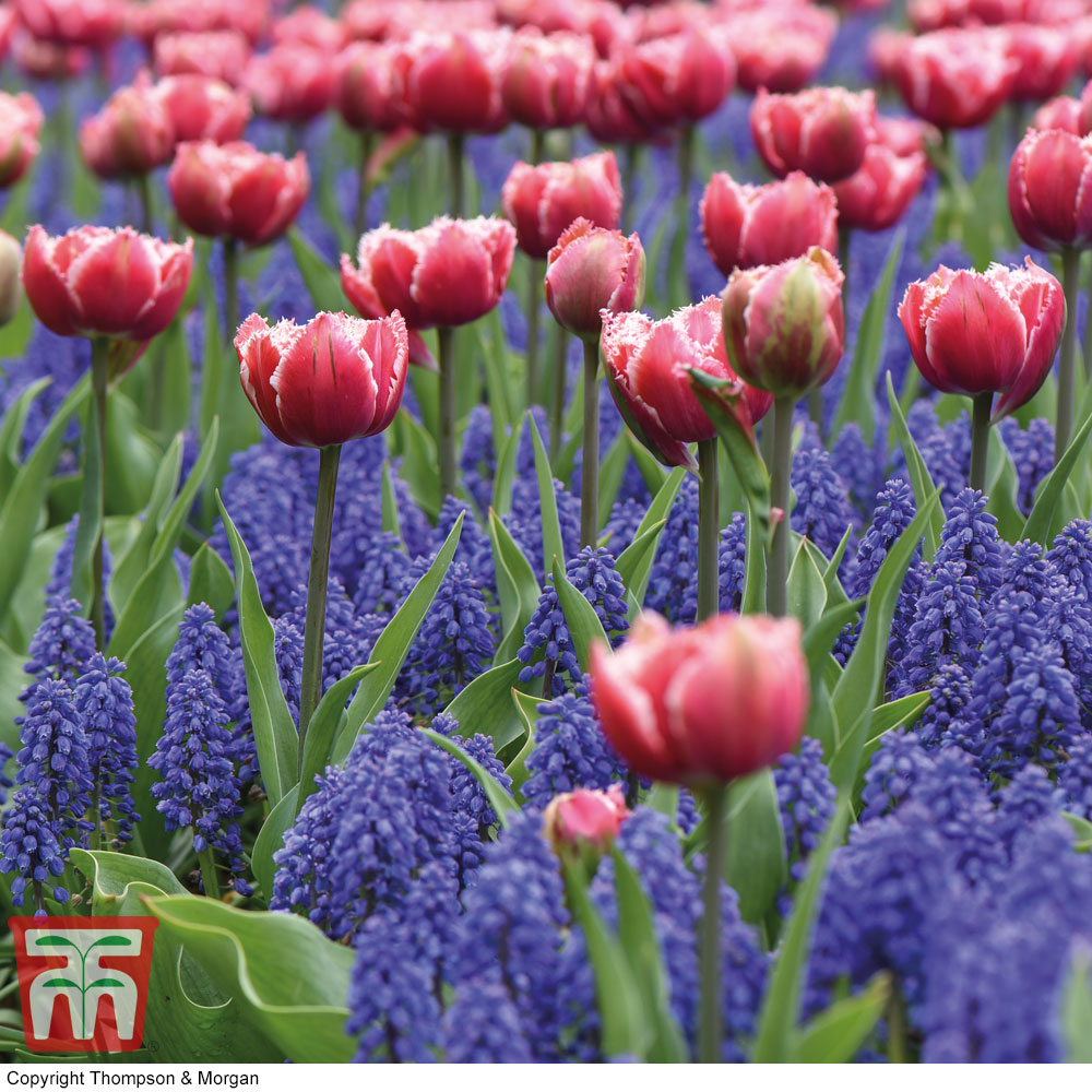 Image of Tulip and Muscari 'Purple Rain Mix'