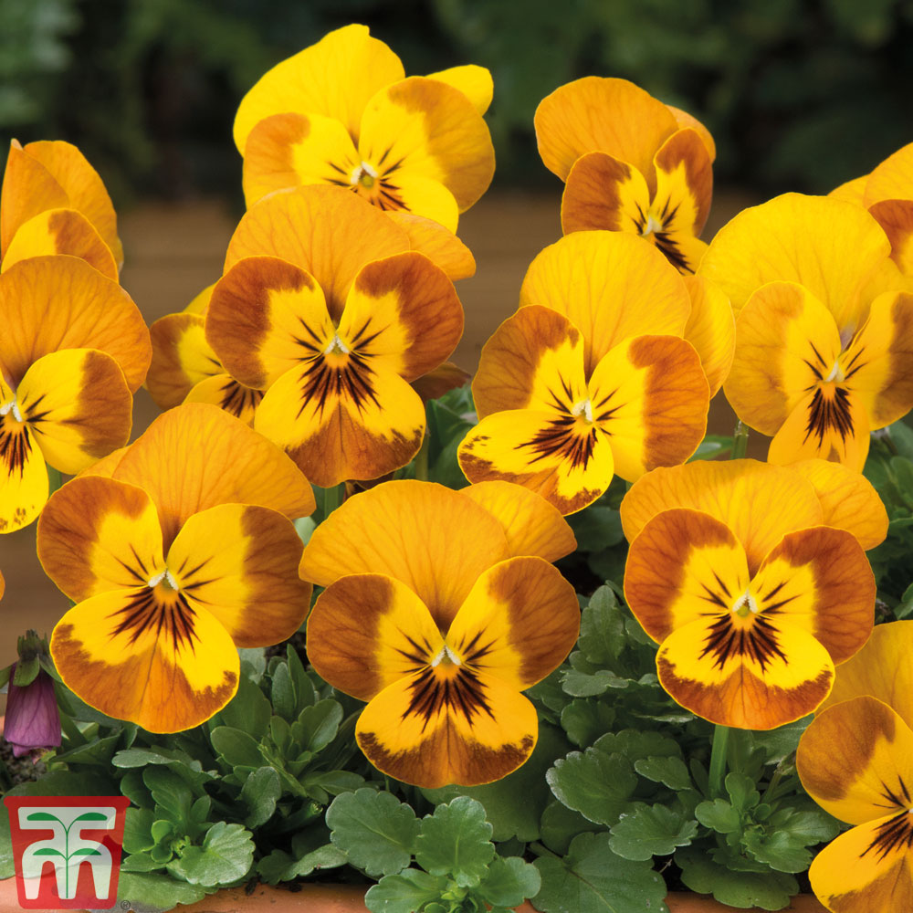 Image of Viola F1 'Sorbet™ Honeybee'