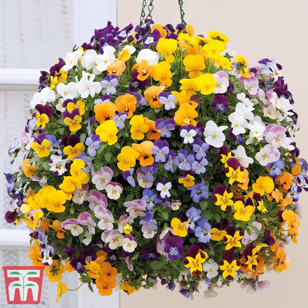 Image of Viola 'Teardrops' Pre-planted Hanging Basket
