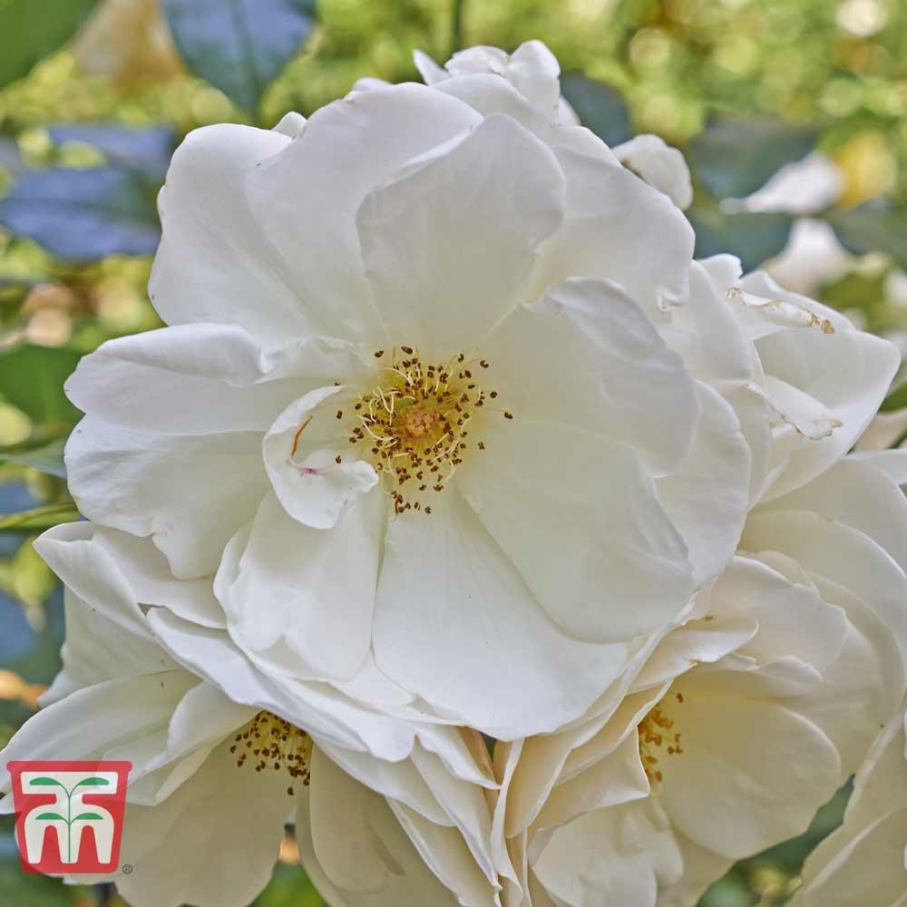 Image of White Ramanas Rose (Hedging)