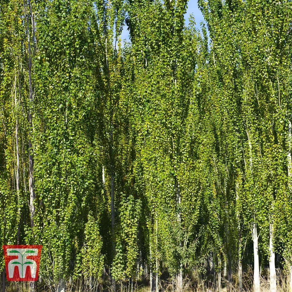 Image of White Poplar (Hedging)