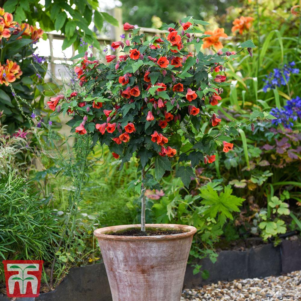 Image of Abutilon megapotamicum 'Red Trumpet' (Standard)