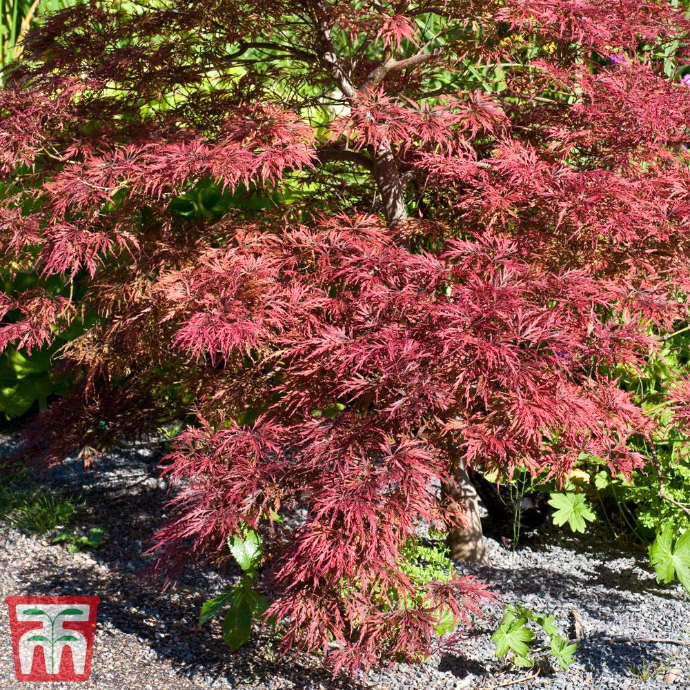Image of Acer palmatum 'Inaba-shidare'