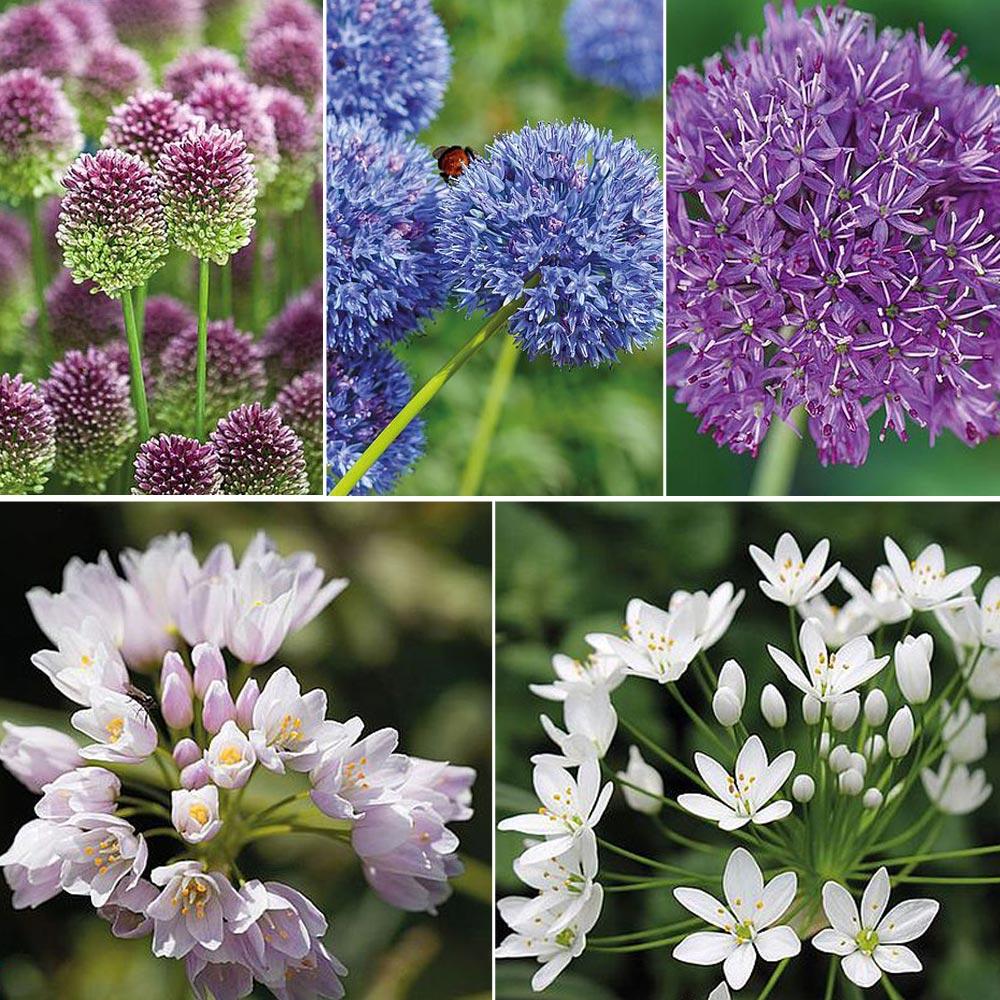 Image of Allium 100 Bulb Collection