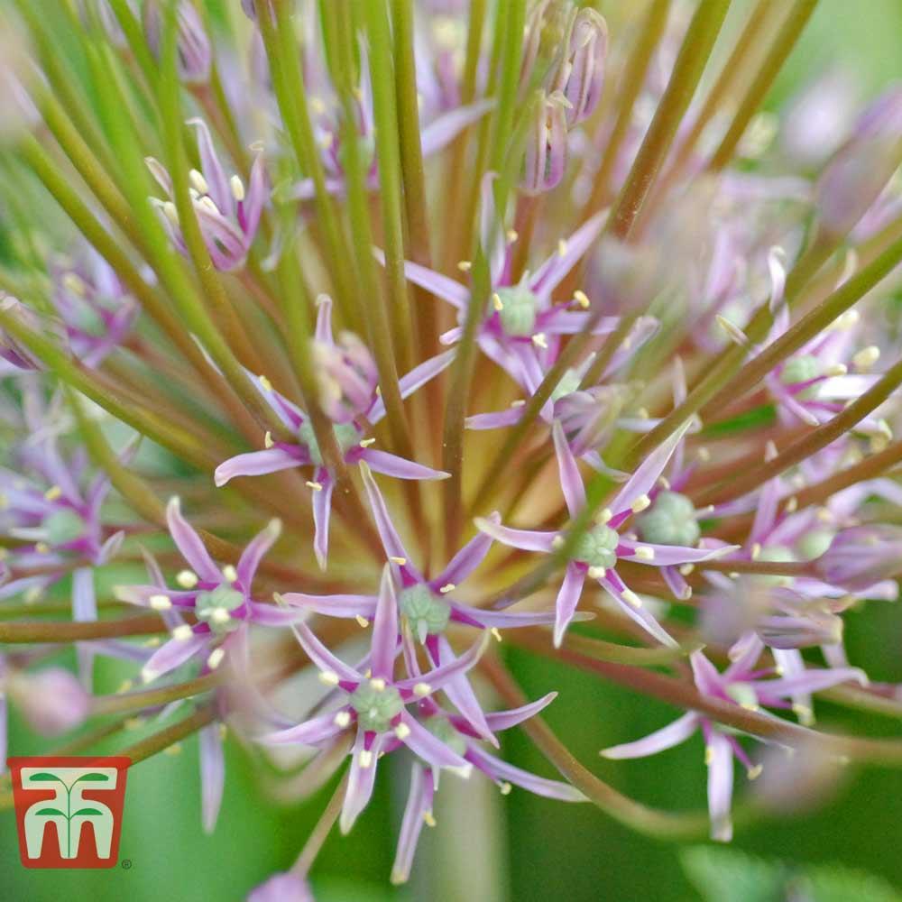 Image of Allium 'Schubertii'