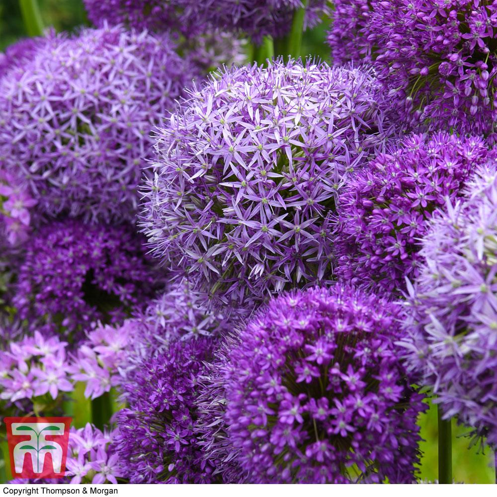 Image of Allium Cut Flower Collection