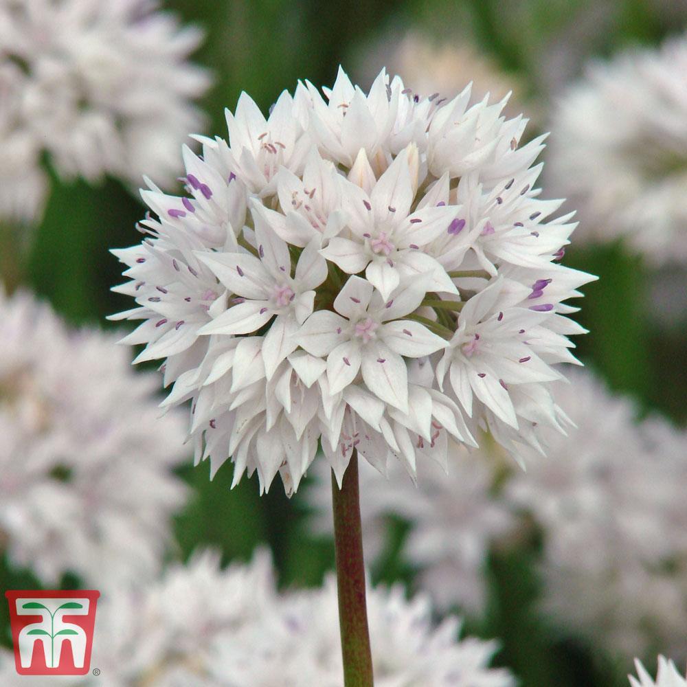 Image of Allium amplectens 'Graceful Beauty'