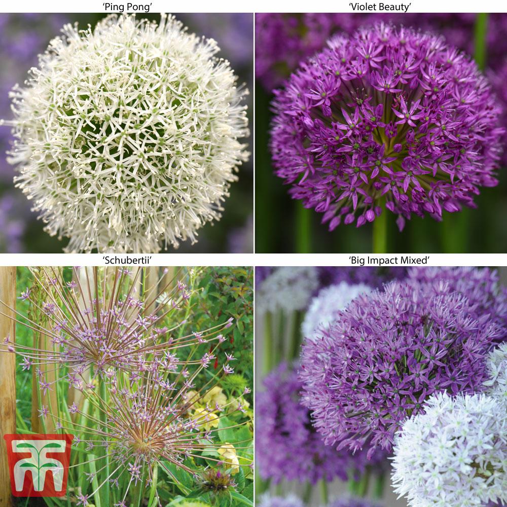 Image of Allium Spring Collection