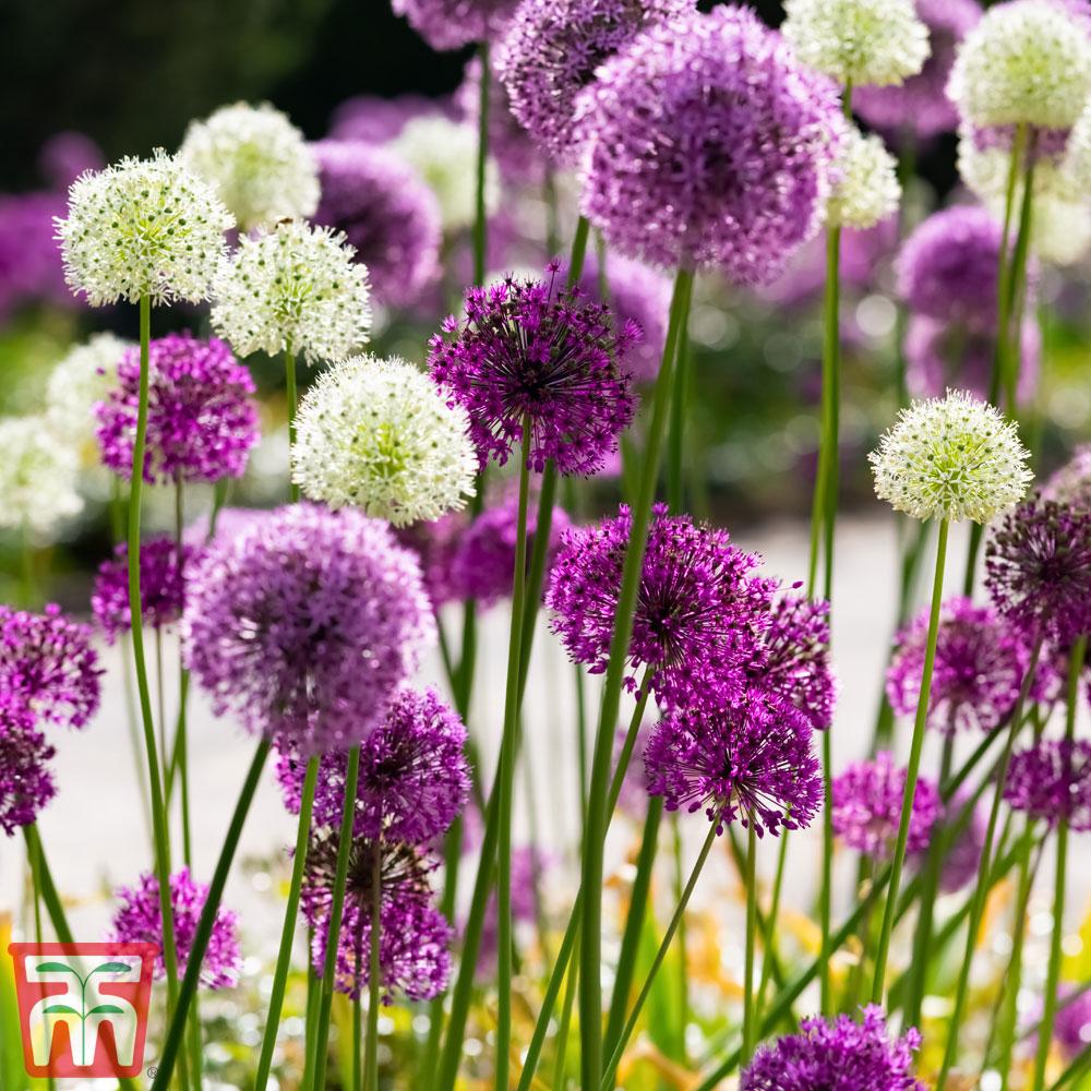 Image of Allium 'Big Impact Mixed'