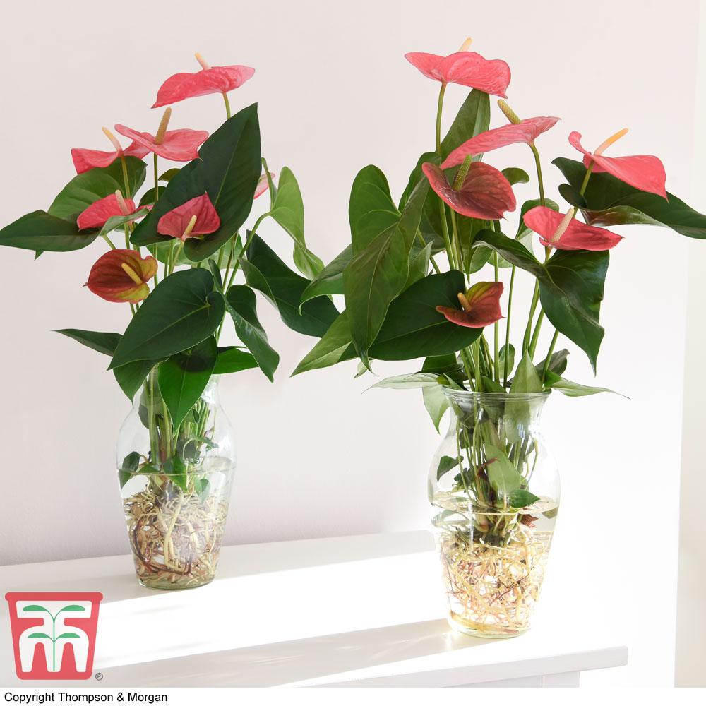 Image of Anthurium Aqua Pink in Vase (House Plant)