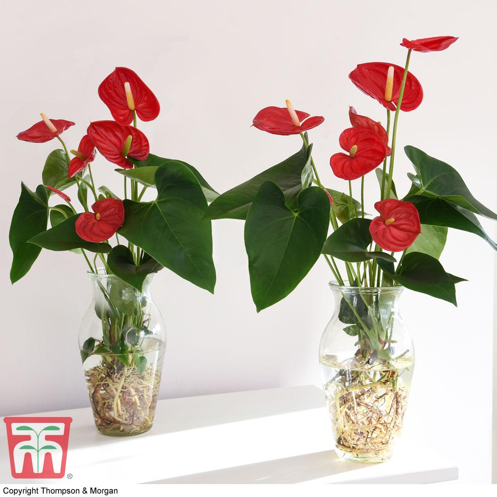 Image of Anthurium Aqua Red in Vase (House Plant)