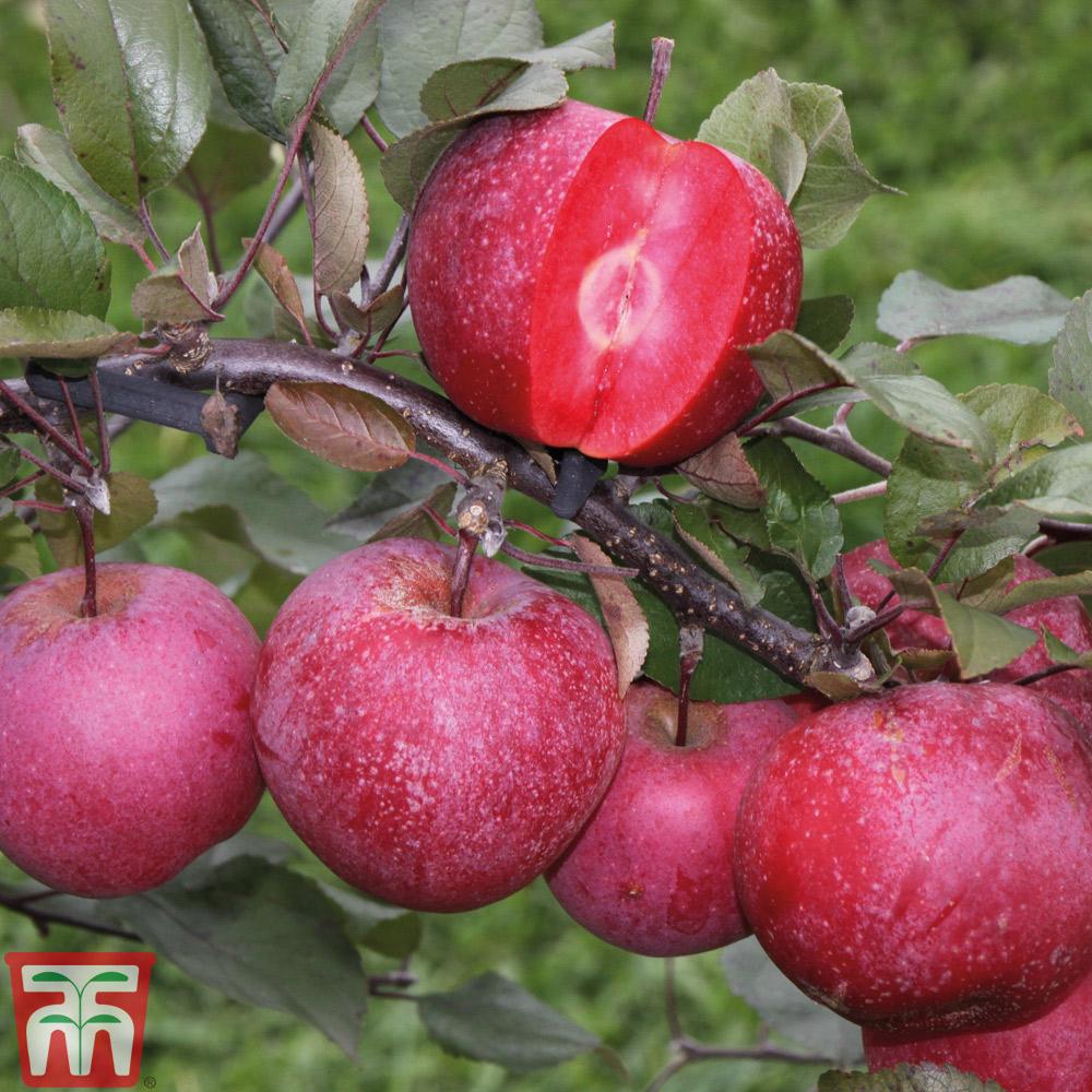 Image of Apple Tree 'Maria'