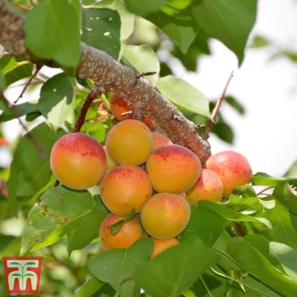 Image of Prunus armeniaca