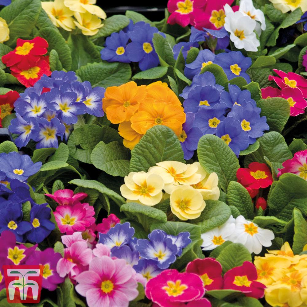 Image of Primrose 'Autumn Colours Mixed' (Garden Ready)