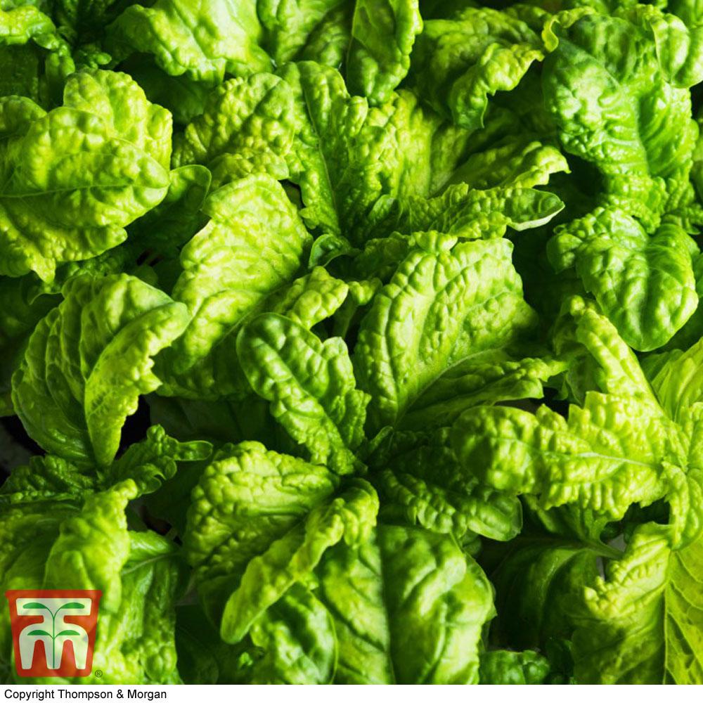Image of Basil 'Lettuce Leaf'