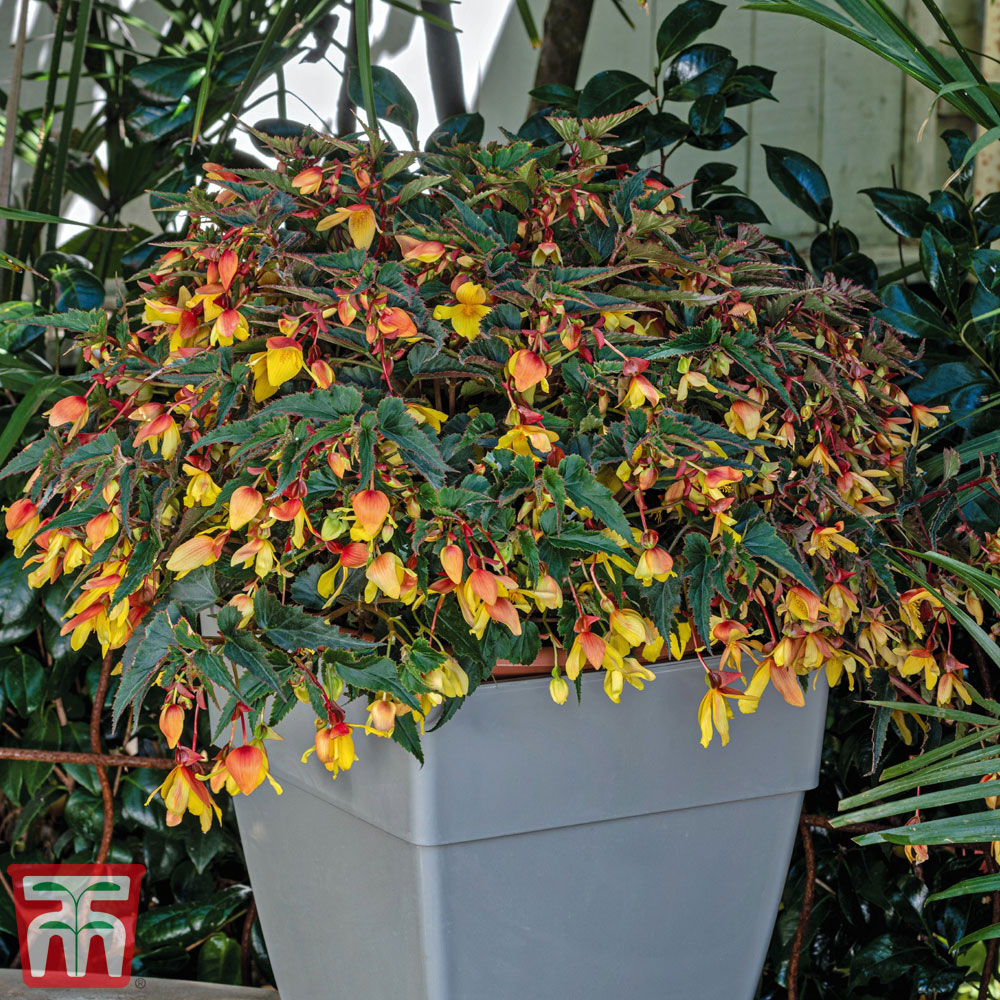 Image of Begonia 'Groovy Mellow Yellow'